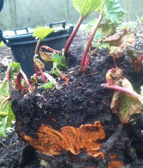 lifting rhubarb
