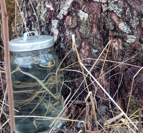 Birch sap in a jar